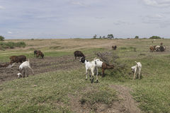 Grazing goats. Goats on the savannah in Kenya . Africa stock photography