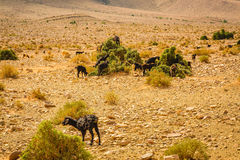 Grazing goats in southern Morocco Stock Images