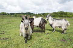 Grazing goats Stock Photography
