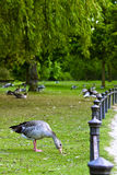Grazing goose. Hungry goose having lots of grass Royalty Free Stock Photo