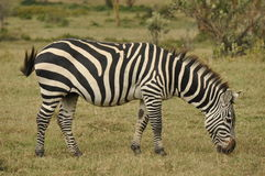 Grazing Grants zebra. In Serengeti National Park royalty free stock images