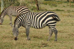 Grazing Grants zebras Stock Photography