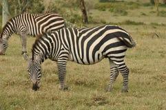 Grazing Grants zebras. In Serengeti National Park Stock Photography