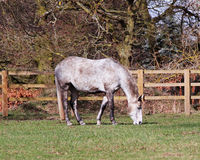 Grazing Gray Horse Royalty Free Stock Photo