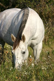 Grazing Gray Horse. Fat pregnant gray broodmare in grass and wildflowers, late afternoon, autumn Royalty Free Stock Photography