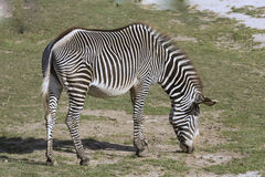 Grazing Grervy's zebra, Equus grevyi Stock Photo