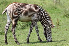 Grazing Grevy's zebra Royalty Free Stock Images