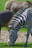 Grazing Grevy's Zebras (Equus grevyi) Royalty Free Stock Image