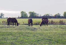 Grazing herd of brown horses in autumn meadow. Grazing herd of brown horses in autumn green meadow Royalty Free Stock Photography