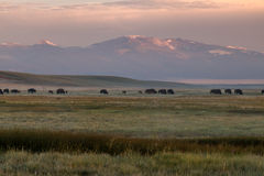 Grazing Herd of Buffalo at Sunrise Royalty Free Stock Photos