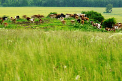 Grazing herd cows. Abstract view of grazing herd cow in a meadow in wind Stock Photography