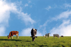 Grazing herd of cows Royalty Free Stock Photo