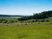 Grazing a herd of cows, Czech republic Royalty Free Stock Image
