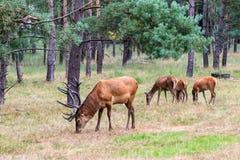 Grazing herd of deer Stock Photos