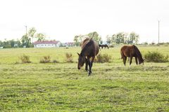 Grazing herd of horses with foal and crows in meadow. Grazing herd of horses with foal and crows in green meadow surrounded by fence near town Royalty Free Stock Images