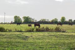 Grazing herd of horses with foal and crows in meadow. Grazing herd of horses with foal and crows on green meadow surrounded by fence near town Royalty Free Stock Photo