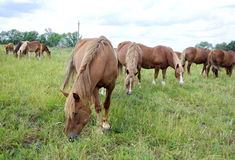 Grazing herd of horses. A herd of horses on a summer day grazing in the meadow Stock Photo