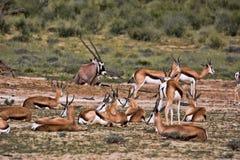 Grazing herd Springbok, Antidorcas marsupialis, Kalahari, South Africa. Herd Springbok, Antidorcas marsupialis, Kalahari, South Africa Stock Photos