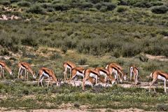 Grazing herd Springbok, Antidorcas marsupialis, Kalahari, South Africa. Herd Springbok, Antidorcas marsupialis, Kalahari, South Africa Royalty Free Stock Photos