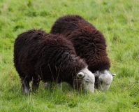 Grazing Herdwick Sheep on an English meadow Royalty Free Stock Photo