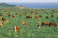 Grazing Hereford cattle, on PCH, CA stock photo