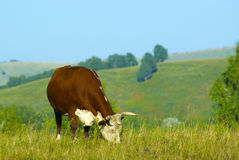 Grazing hereford cow. At the hills land Royalty Free Stock Image