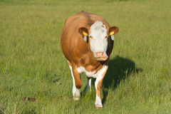 Grazing Hereford cow Stock Photo