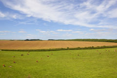 Grazing hereford cows in a classic English landscape Royalty Free Stock Image