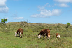 Grazing Hereford cows Royalty Free Stock Image