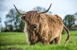 Grazing Highland Cattle Royalty Free Stock Photography