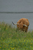 Grazing highland cow. A grazing red highland cow in Scotland Royalty Free Stock Image