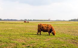 Grazing Highland cows in winter fur Royalty Free Stock Image