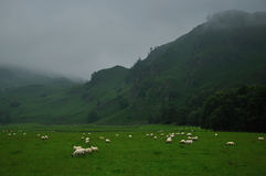 Grazing Highland Sheeps in Scotland Royalty Free Stock Image