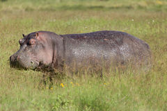 Grazing Hippo Stock Image