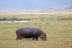 Grazing Hippopotamus Royalty Free Stock Photos