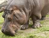 Grazing Hippopotamus Stock Photos