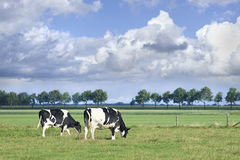 Grazing Holstein-Friesian cow in a green Dutch meadow. Stock Image