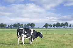 Grazing Holstein-Friesian cow in a green Dutch meadow. Royalty Free Stock Photo