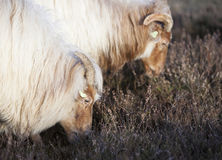 Grazing horned sheep on the heath near Zeist and utrecht in the Royalty Free Stock Photo