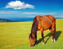 Grazing horse. Landscape with grazing horse and blue sky Royalty Free Stock Photos