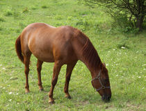 Grazing Horse. A chestnut-colored horse eating grass in a field Royalty Free Stock Photography