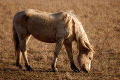 Grazing Horse. A horse grazing with late evening light Royalty Free Stock Images