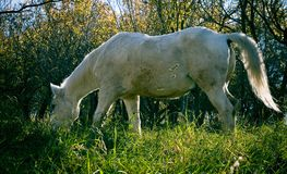 Grazing horse. An old white horse grazing on the cold frozen fall grass royalty free stock photography