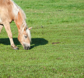 Grazing Horse Royalty Free Stock Image