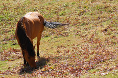 Grazing Horse Royalty Free Stock Photography