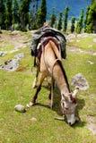 Grazing horse Stock Image