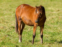 Grazing horse Royalty Free Stock Images
