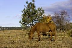 Grazing horse. Stock Photo