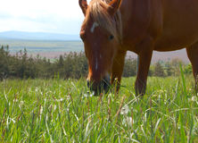 Grazing horse. On the green meadow Stock Image
