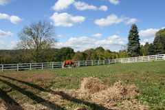 Grazing Horse. Horse grazing in a field of Royalty Free Stock Images